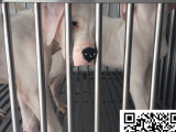 哪里有卖杜高犬的 怎么才能买到纯种健康的杜高犬