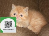 徐州哪里卖加菲猫便宜 徐州哪里卖加菲猫 徐州哪里买加菲猫