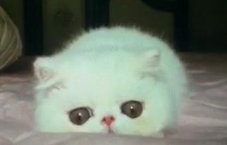 许昌地区加菲猫出售