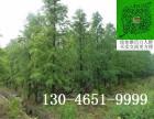 美国红杉树苗高度50公分(厘米)价格