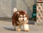 纯种的阿拉斯加多少钱 宠物店的狗靠谱吗