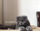 家养蓝猫宝宝健康
