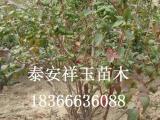 大量低价供应篮丰蓝莓树苗 山东蓝莓苗基地 蓝莓苗价格