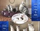 腾笼子,母猫生宝宝,猫咪白菜价