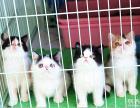 加菲猫出售 多只任选 可支付宝