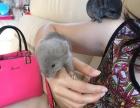 新生小龙猫预售
