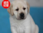 纯种拉布拉多高智商宠物犬 出售纯种拉布拉多幼犬