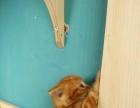 市面上不可多得的美短黄虎斑猫猫