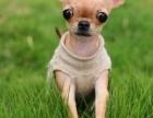 吉娃娃犬纯种家养繁殖吉娃娃狗出售精品家养活体宠物狗