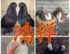 出售燕子鸽 芙蓉鸽 鼓手鸽 摩登那鸽 仙女鸽 毛领鸽