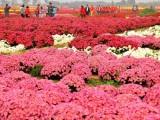 江西芝樱种子多少钱一公斤
