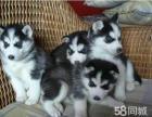 **纯种的一窝哈士奇幼犬出售,自家繁殖的,非常健康