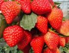 金华草莓采摘 金华摘草莓