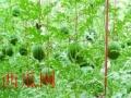 山药、黄瓜搭架专用网