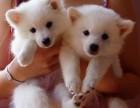 泉州哪有日本尖嘴犬卖 泉州日本尖嘴价格 泉州日本尖嘴多少钱