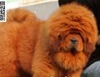 高端藏獒幼犬火系兽系精品藏獒 实力派獒园十年养殖经验丰富