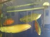 出售星点金龙鱼和银龙鱼