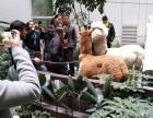 上海奉贤区借租荷兰猪-宠物猪出租-小猪租赁-房地产开盘暖场