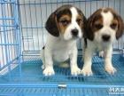 比格犬一出售世界各类名犬一送用品一签协议一