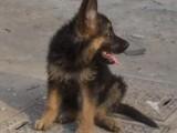 南昌哪有德国牧羊犬卖 南昌德国牧羊犬价格 德国牧羊犬多少钱