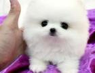 重庆高品质俊介犬纯种博宝宝长不大狗狗保证健康好养超萌