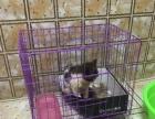 自家养的加菲猫转让