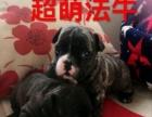 2个月的斗牛犬3000元(母)