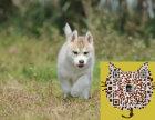 出售哈士奇幼犬 品相纯正 三把火 双蓝眼 白套袖 体态完美