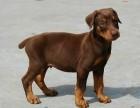 出售杜宾犬幼犬 德系 美系笃宾犬 工作犬猎犬裁耳断尾