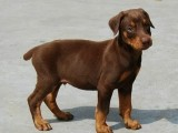 活体看家护卫犬狗纯种双血统赛级德系杜宾犬幼犬可上门
