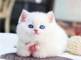 长沙本地猫舍 英短蓝猫蓝白渐层布偶橘猫加菲猫 上门买包3个月