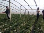 李师傅草莓采摘园