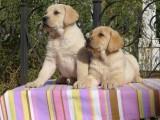 纯种拉布拉多犬 包健康好养 购买签协议疫苗齐全