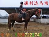 跑马场马匹养殖场骑乘马半血马价格伊犁马多少钱