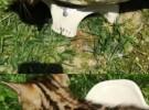 孟加拉豹猫出售,花纹品相很叼