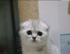萌萌哒折耳猫出售、可爱呆萌、靠谱家长快来挑选