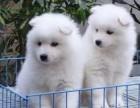 台州本地犬舍出售精品萨摩耶犬包纯包健康