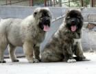 纯种高加索犬哪里有 高加索犬 猛犬最低价格出售