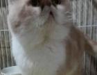 《金鑫猫舍》**血统种公借配,长年精品幼猫出售