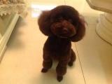 纯种的泰迪犬多少钱 宠物店的狗靠谱吗