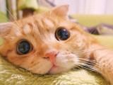 南京全国发货 也可视频挑选猫咪