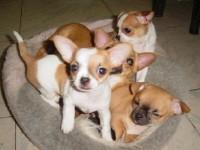 杭州吉娃娃一本地养殖狗场一直销各种世界名犬 常年售卖