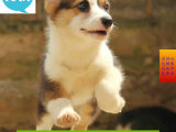 狗场直销出售纯种双色三色柯基犬-包健康 签