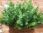 特价 仿真花卉绿植物米兰草、尤加利叶 2元/支
