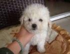 专业犬舍 纯种泰迪犬出售 包犬瘟细小签健康协议