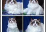 上海正规猫舍 布偶 加菲 金渐层 英短 美短 蓝猫 全国发货
