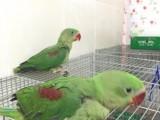 出售亚历山大鹦鹉 和尚鹦鹉 金太阳鹦鹉 吸蜜鹦鹉 灰鹦鹉