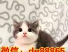 美国短毛猫 自家繁殖虎斑猫幼崽活体 立耳虎斑猫宝宝