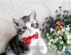 美短加白美短幼猫纯种美短宠物活体美短纯种美短