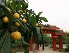 龙泉驿区美丽乡村农家乐鲜果采摘 水蜜桃 李子成熟季